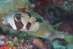 BD-130709-Maldives-9968-Diodon-liturosus.-Shaw.-1804-[Black-blotched-porcupinefish].jpg